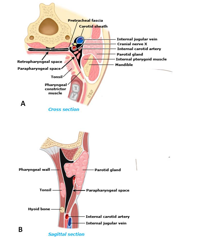 medium resolution of lateral pharyngeal space and its contents a cross section b sagittal view
