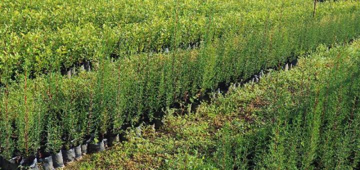 διάθεση δασικών φυτών από το Δασικό Φυτώριο Φοινικιάς