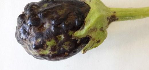 Εμφάνιση του ιού της ποικιλοχλώρωσης με ρυτίδωση της Μελιτζάνας