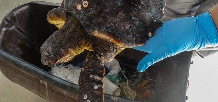 Απελευθέρωση χελωνών Caretta caretta