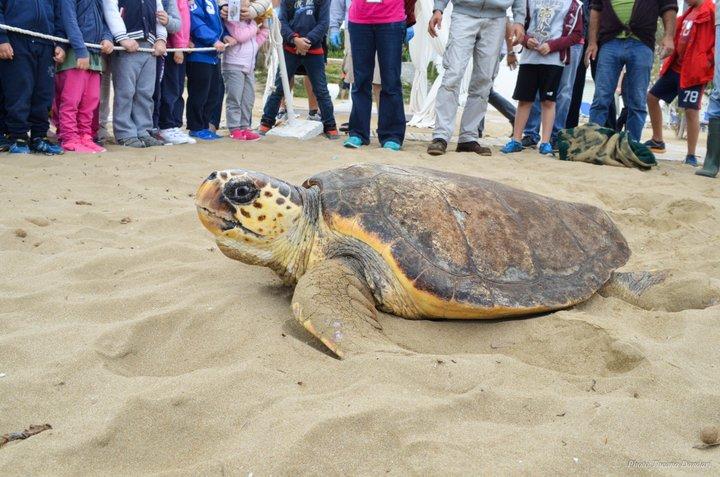 απελευθέρωση χελώνας Caretta caretta