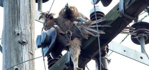 Οι αετοί πεθαίνουν… στα ηλεκτροφόρα καλώδια