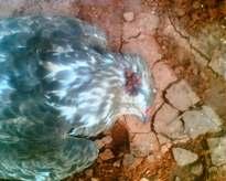 Το νεκρό γεράκι
