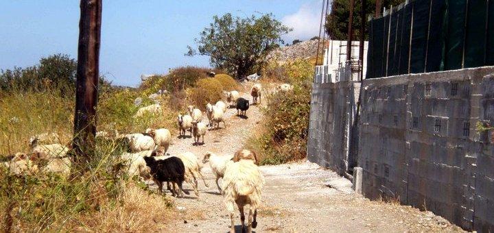 από κτηνοτρόφους της Κρήτης, ζητά βοήθεια ο δήμος Καρπάθου για τα αδέσποτα