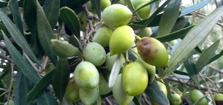 Ερώτηση Συντυχάκη για τα Προβλήματα των μικρομεσαίων ελαιοπαραγωγών της Κρήτης