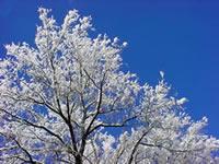 Δέντρα και Παγετός
