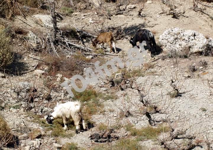 Άρθρο 38: Επιβολή διοικητικού προστίμου σε ιδιοκτήτη ζώου που προκάλεσε αγροτικές φθορές