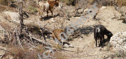 οι κατσίκες αποτελειώνουν ότι έχει μείνει απ' τ' αμπέλι