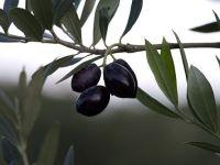ελιές σε κάποιο δένδρο της Κρήτης