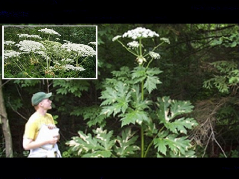 Don't touch: Giant plant causes blindness, third-degree burns