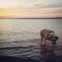 Boxer playing at Lake Hefner in OKC