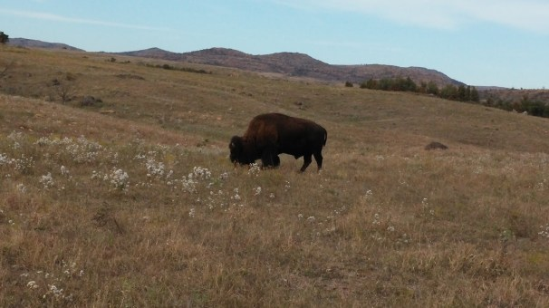 Hungry, hungry Bison