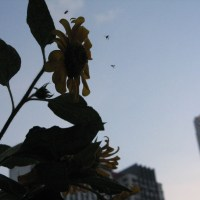 Sun Flowers and the bees 向日葵与蜜蜂