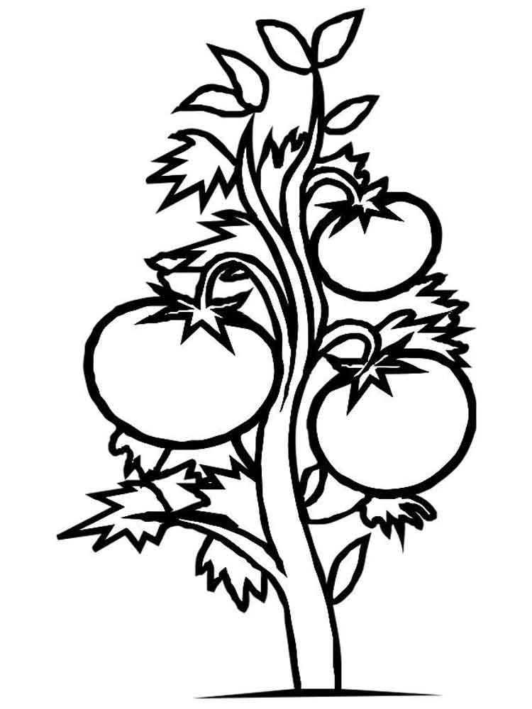 planta de tomate para colorear