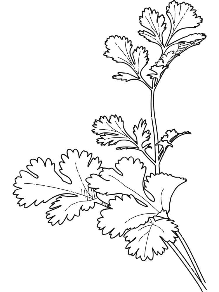 Dibujos de cilantro para colorear e imprimir