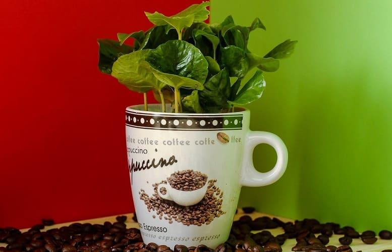 Coffee Plant Profile