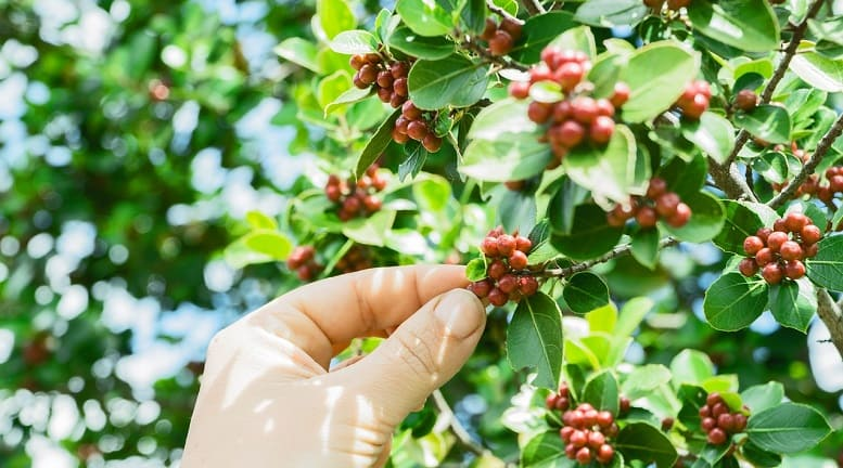 Toxicity of Coffee Plants