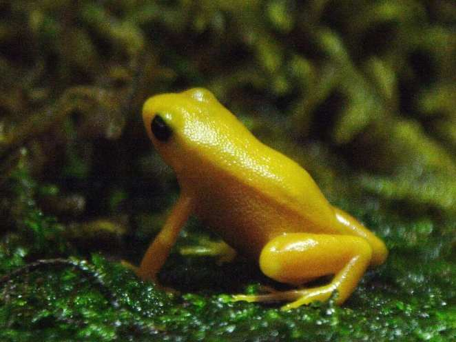 Coolest Frogs In The World: Golden Mantella Frog