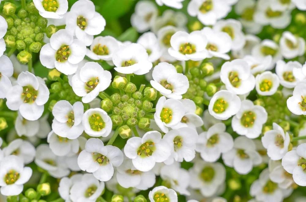 Most Fragrant Flowers: sweet alyssum flower