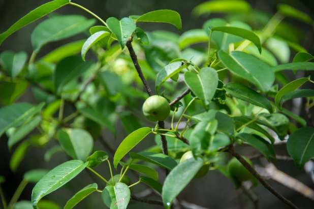 Most Deadly Fruits - Manchineel