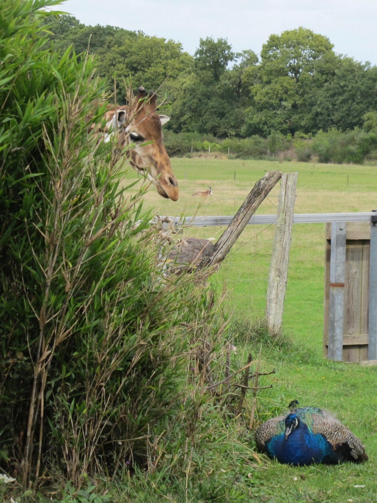 Branféré photo concours girafe paon