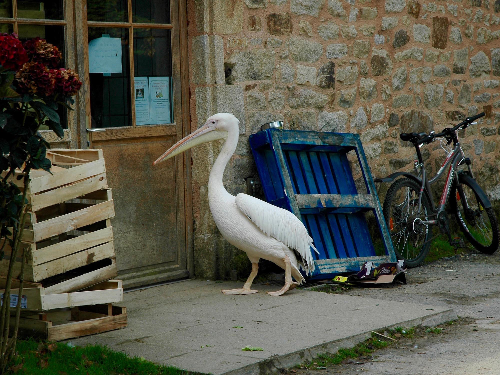Branféré Pellican photo humour
