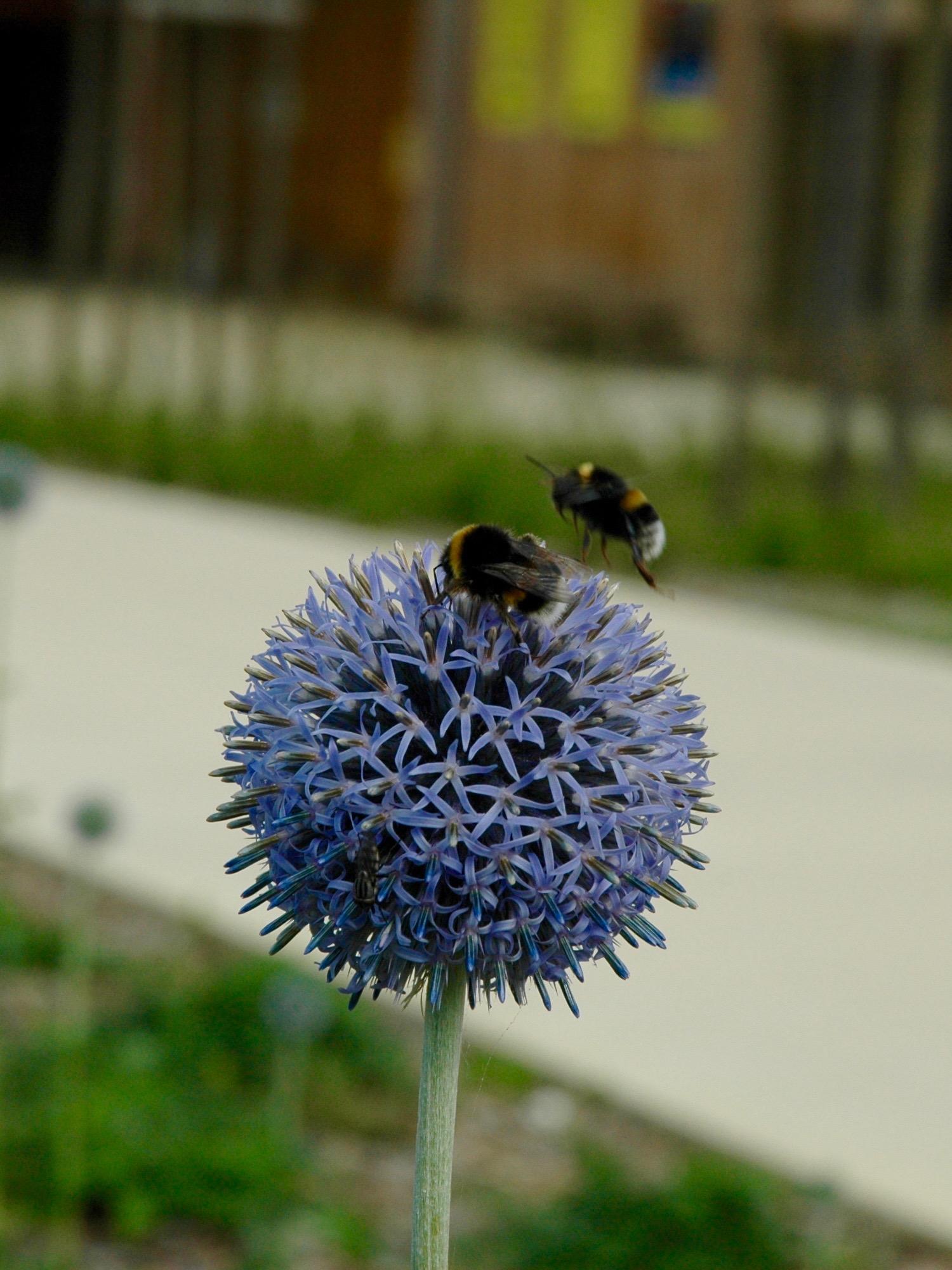 Branféré photo bourdon pollinisation