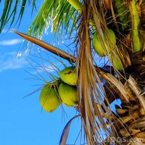 Palmiye ağacının yeşil meyvesi