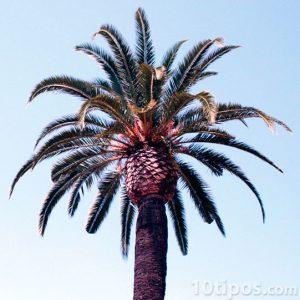 Yüksek artışlı palmiye ağacı