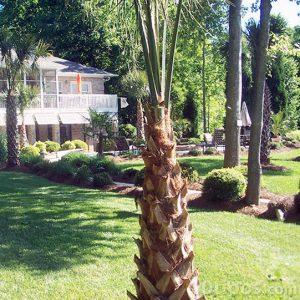 Bahçede gölge oluşturmak için palmiye ağacı
