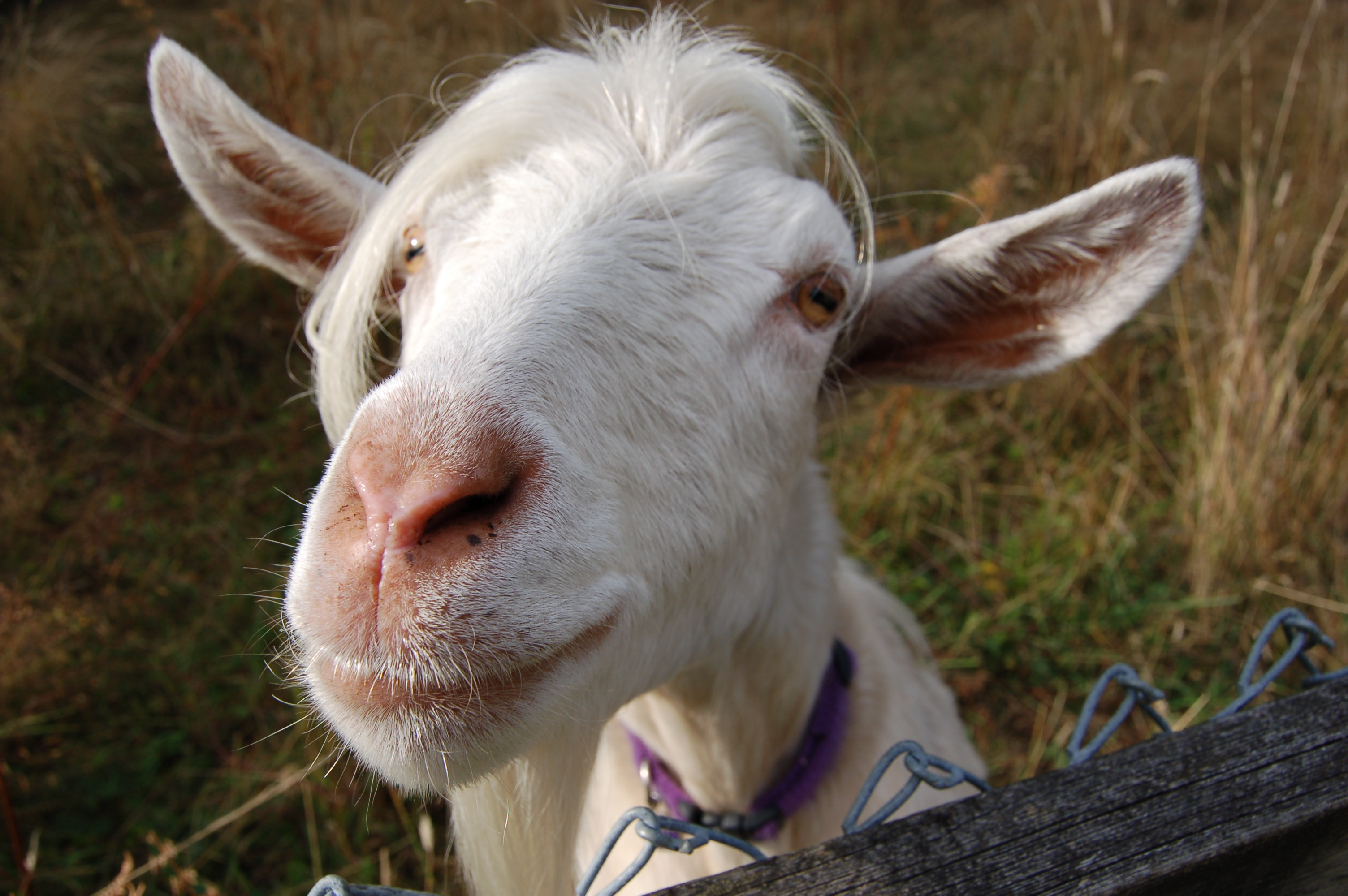 Harry, our Pygora goat