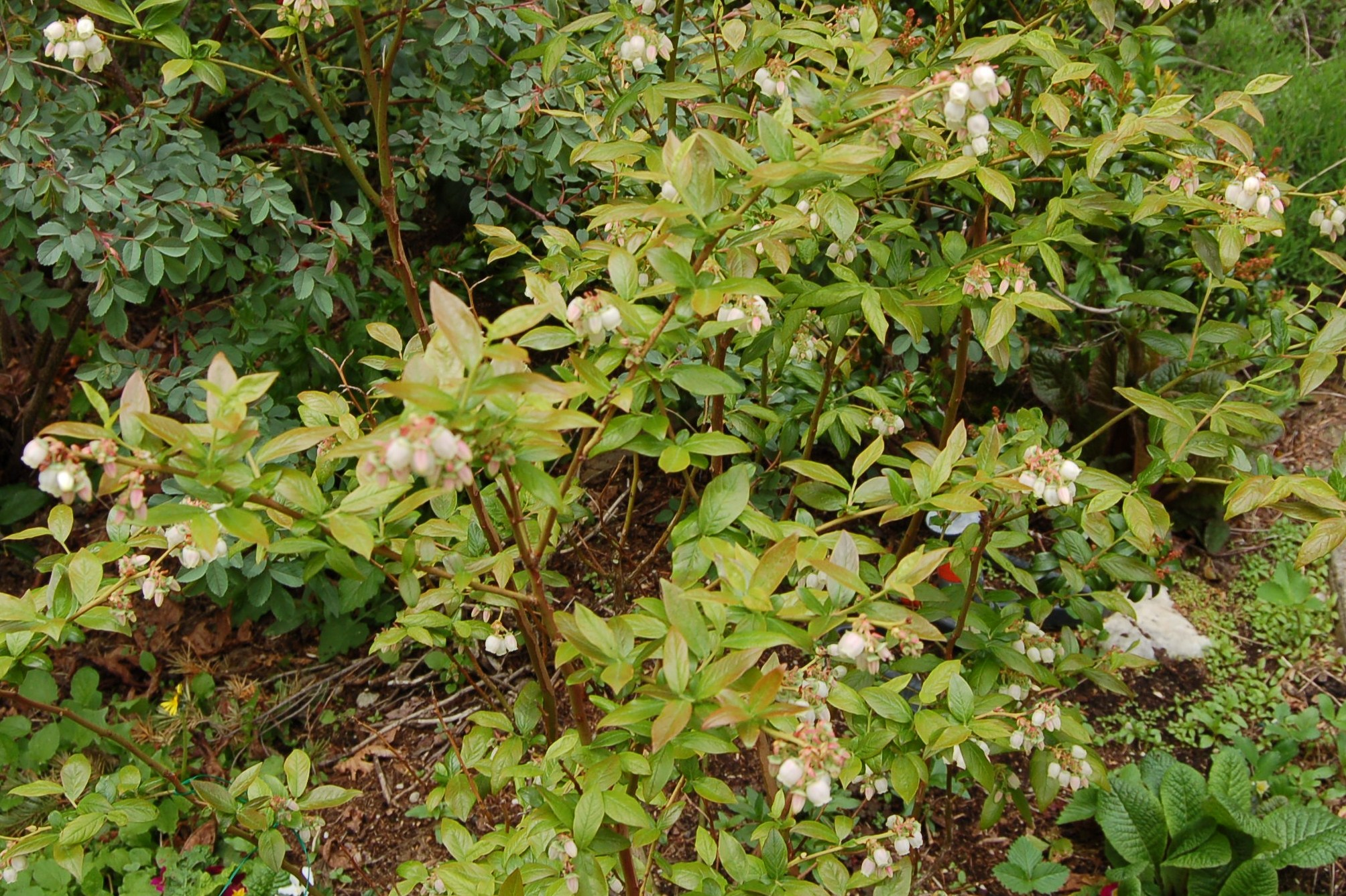 Blueberry bush, mid-May