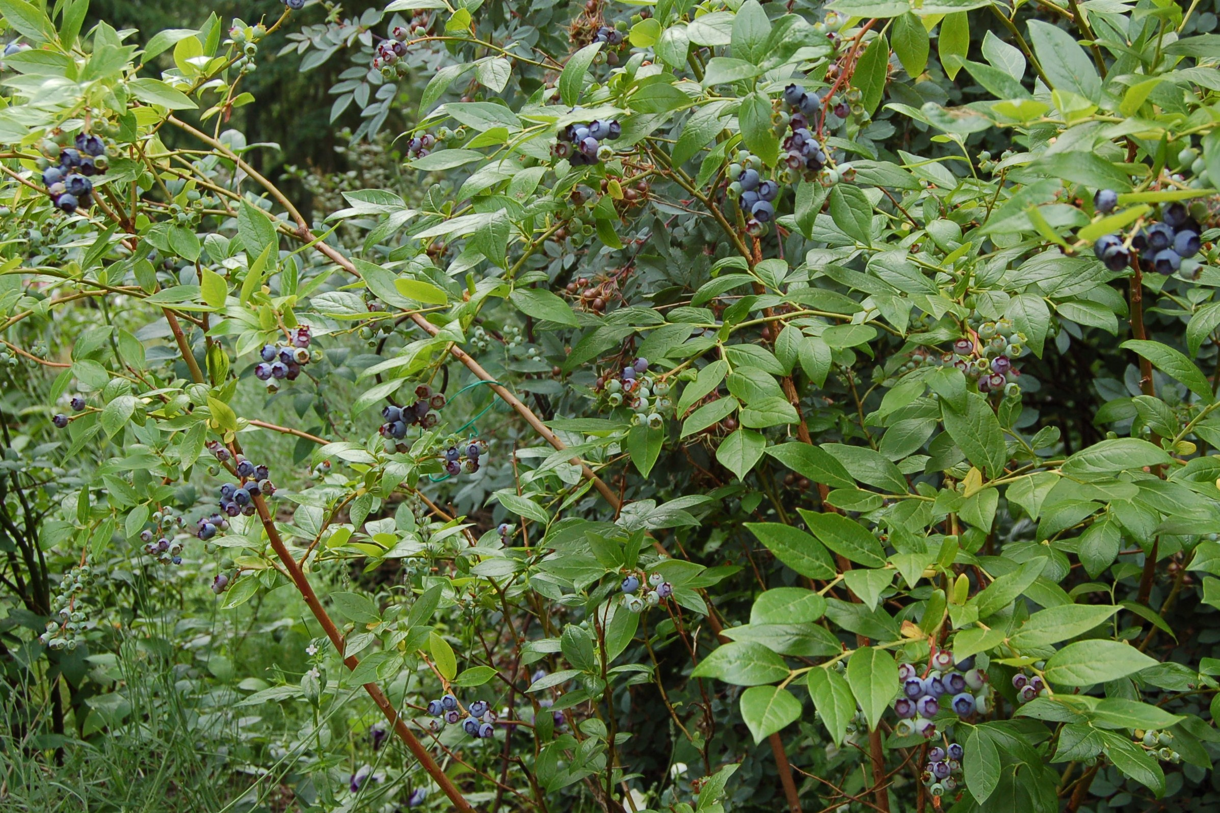 Blueberries, ready to harvest