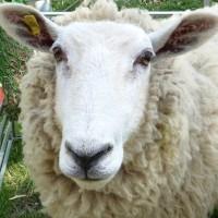 Dashy the sheep