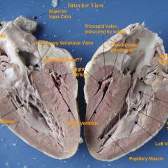 Pig Heart Diagram Interior Ezgo Battery Wiring Sheep Anatomy Quiz