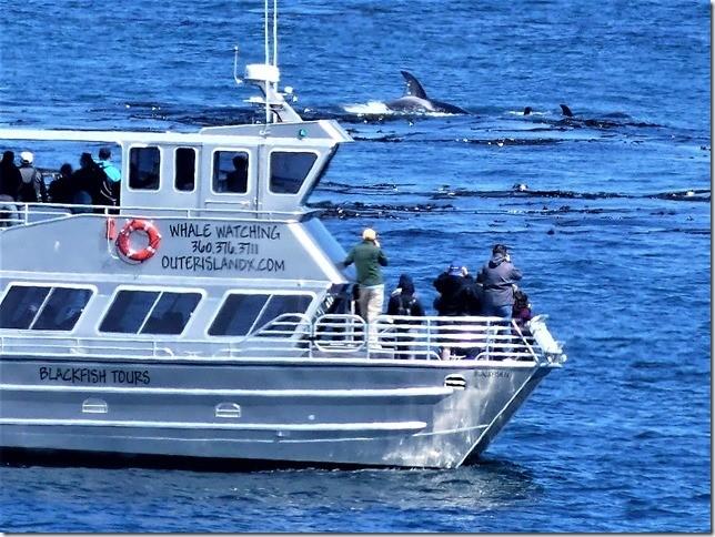 2017-7-8 : Orcas in Oak Bay – by Dr. Andrew Ross
