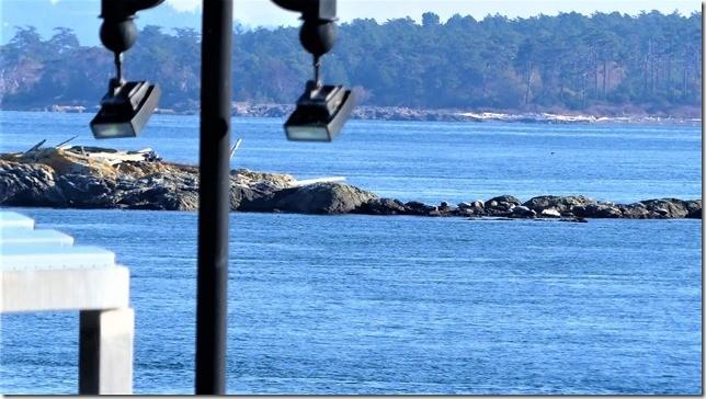 2017-11-6 : Seals on Harris Island off the Oak Bay Beach Hotel SPA