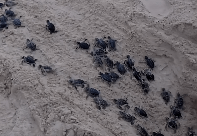 Video New Born Baby Sea Turtles Race To The Ocean