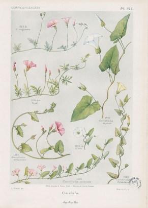Flore complète, illustrée en couleurs, de France, Suisse et Belgique, par Gaston Bonnier. 1912-1935, Médiathèque du Grand Troyes, photo P. Jacquinot. Cote 1095, pl. 411