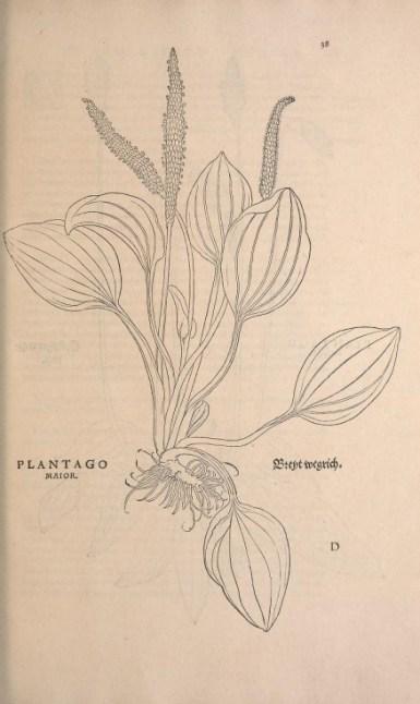 Le plantain. Gravure extraite de l'Historia Strirpium de 1542. Source : Smithsonian Librairies, library.si.edu