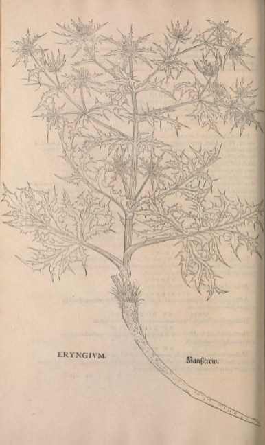 La camomille. Gravure extraite de l'Historia Strirpium de 1542. Source : Smithsonian Librairies, library.si.edu
