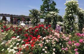 山下公園「未来のバラ園」(昨年の写真)