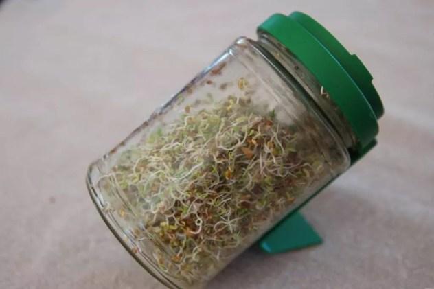 graines germées