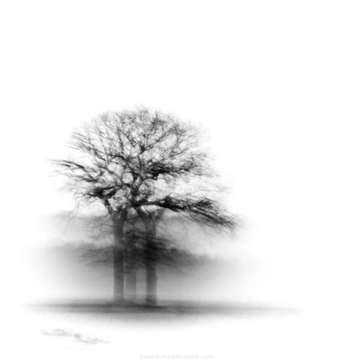 Fig Sauvage tree