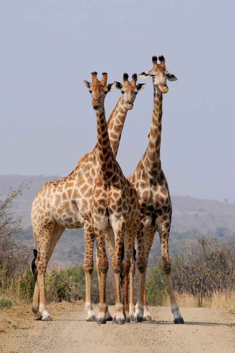 south-africa-hluhluwe-giraffes-pattern.jpg