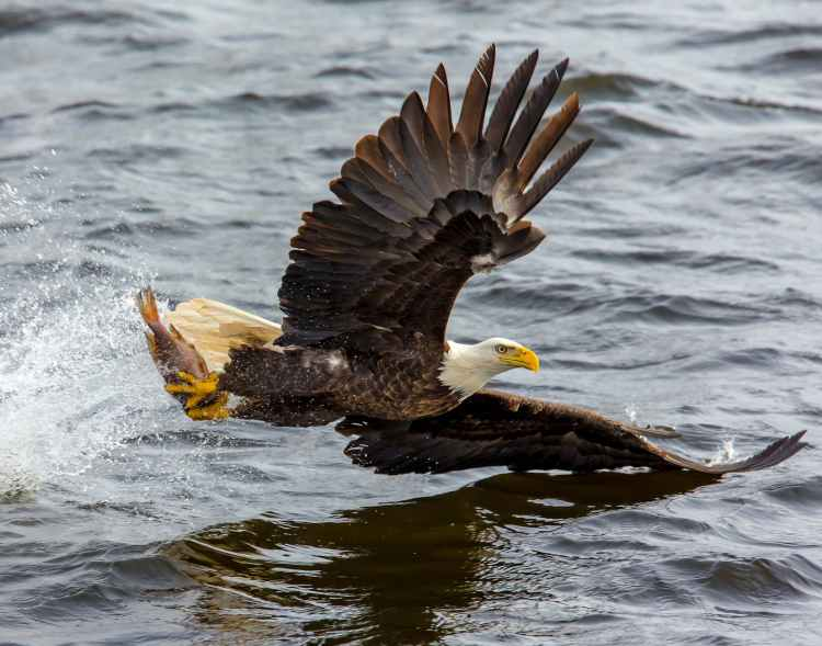 bald eagle over the body of water