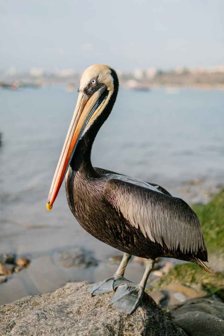brown pelican with colorful beak standing on stone on sandy shore