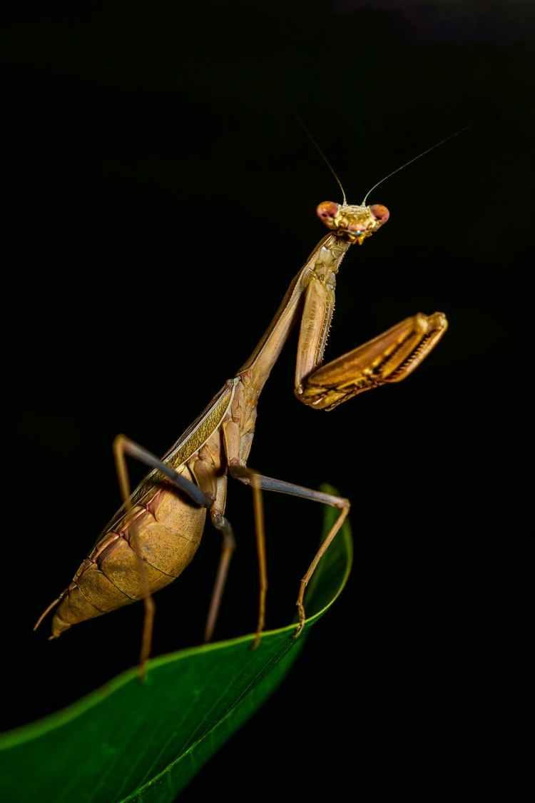 brown praying mantis in close up photography