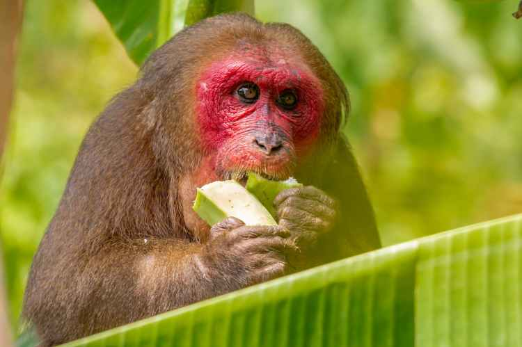 brown monkey eating green vegetable