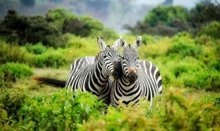 zebras on zebra